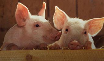 Для свиней