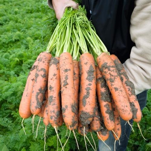 КЛМ-Агро предлагает купить семена моркови Балтимор F1