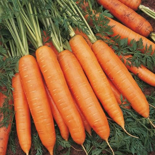 Предлагаем купить семена моркови Белградо F1