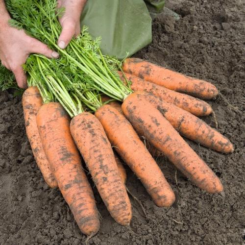 Предлагаем купить семена моркови Базель F1