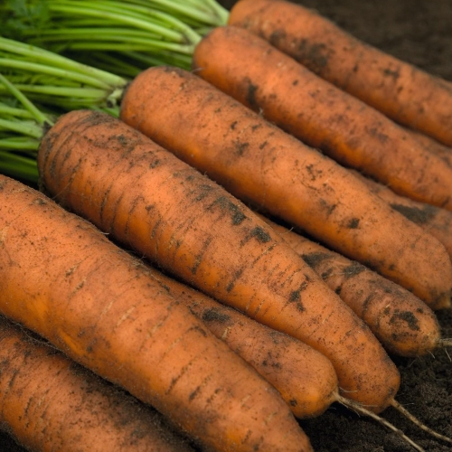 Предлагаем купить семена моркови Белградо F1 в Минске
