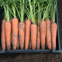 КЛМ-АГРО предлагает купить семена моркови Берлин F1