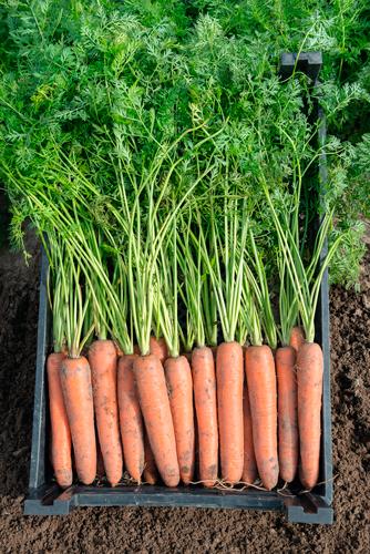 КЛМ-АГРО предлагает купить семена моркови Бермуда F1