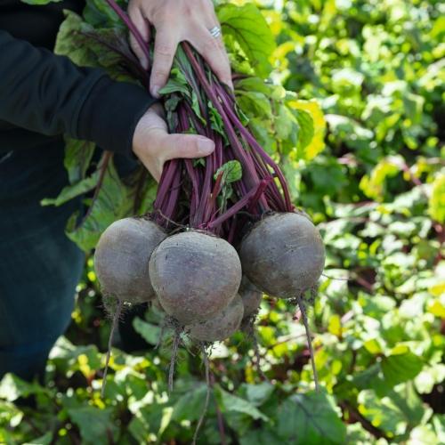 Семена свеклы Бикорес купить оптом т в розницу