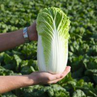 Капуста Билко F1 семена капусты купить оптом и в розницу