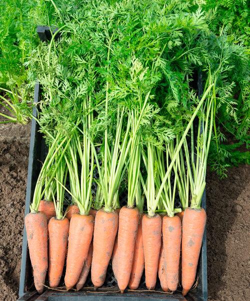 Семена моркови Канада F1 купить в Минске