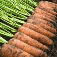 Предлагаем купить семена моркови Каскад F1
