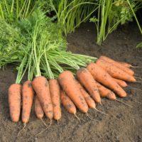 Предлагаем купить семена моркови Купар F1