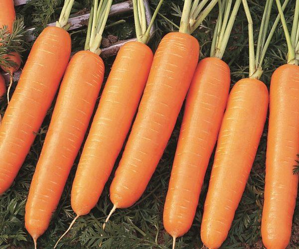 Морковь Найроби F1 купить оптом и в розницу