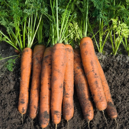 В КЛМ-АГРО Вы можете купить семена моркови Намур F1
