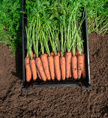 Семена моркови Нарбонне F1 купить на КЛМ-АГРО