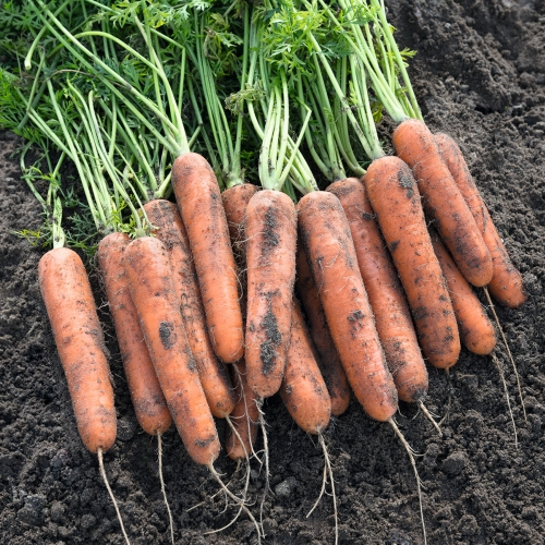 Семена моркови Натуна F1 купить онлайн