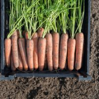Предлагаем купить семена моркови Навал F1