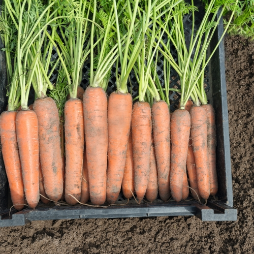 Семена моркови Нектар F1 купить в Минске