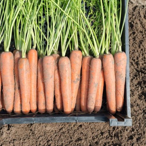Предлагаем купить семена моркови Ньюхолл F1