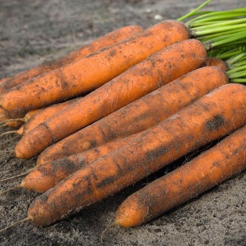 Семена моркови Нилэнд F1 купить на КЛМ-АГРО