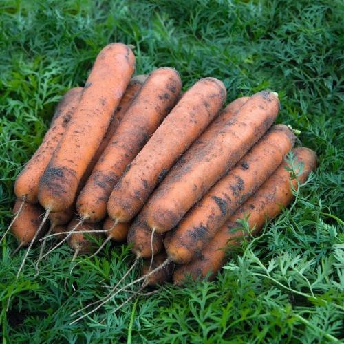 Семена моркови Номинатор F1 купить оптом