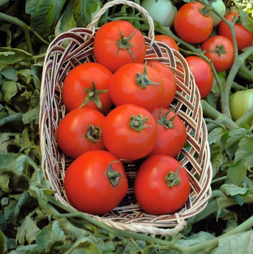 Семена помидор Полбиг F1 купить в Минске