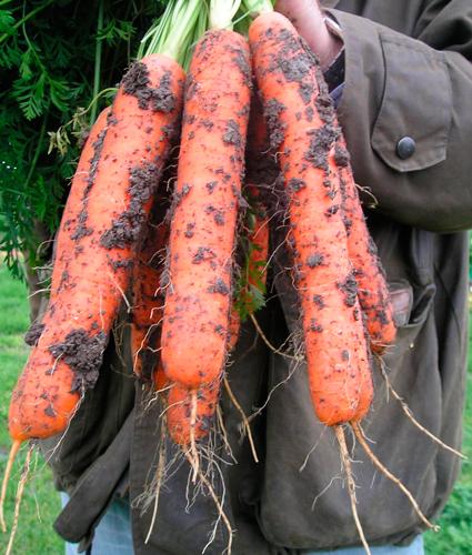 предлагаем купить семена моркови Самсон