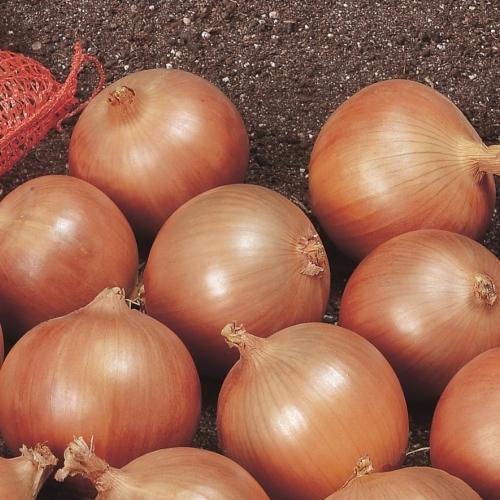 Семена лука Спирит F1 купить оптом и в розницу