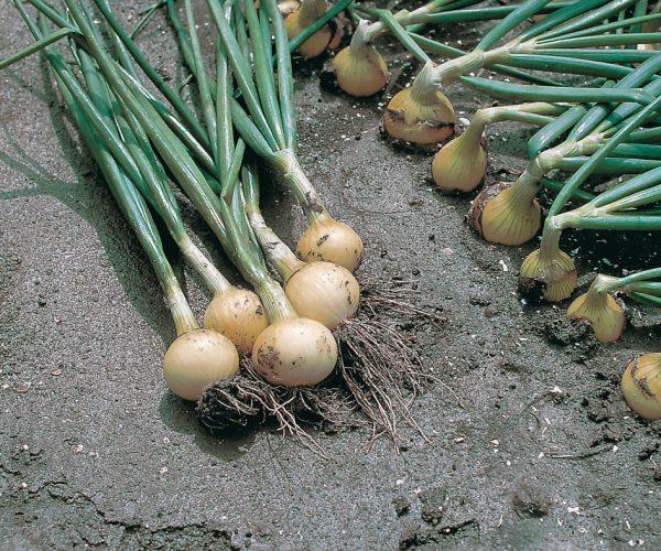 Семена лука Свифт купить оптом и в розницу