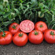 Семена томатов Томск купить в КЛМ