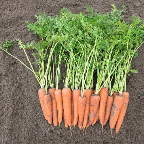 Семена моркови Вита Лонга купить в Минске