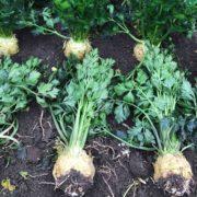 Сельдерей Балена - купить семена сельдерея Балена оптом и в розницу