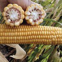 Делитоп семена кукурузы купить оптом и в розницу