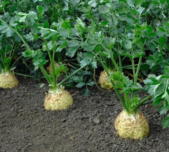 Семена сельдерея Диамант купить в КЛМ