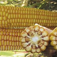 НК Фалькон семена кукурузы купить оптом и в розницу
