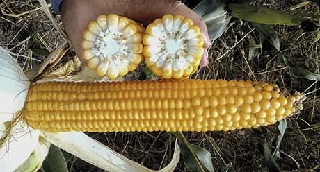 НК Гитаго - семена кукурузы купить оптом и в розницу