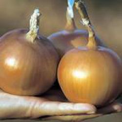 Семена лука Корона F1 купить в КЛМ-АГРО