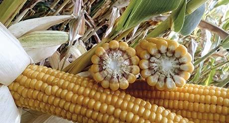 НК Кулер семена кукурузы купить оптом и в розницу