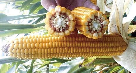 Нерисса - семена кукурузы купить оптом и врозницу