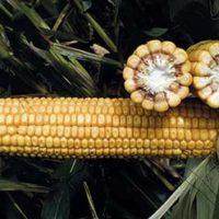 СИ Новатоп семена кукурузы купить оптом и в розницу