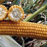 СИ Респект семена кукурузы купить оптом и в розницу