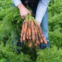 Семена моркови Нерак F1 купить в Минске