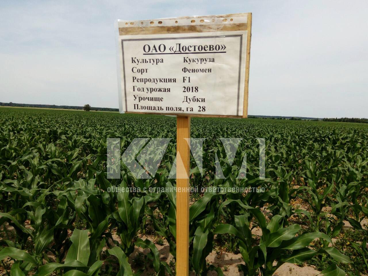 fenomen-corn