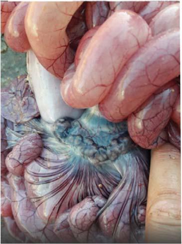 Послеотъемный колибактериоз и отечная болезнь