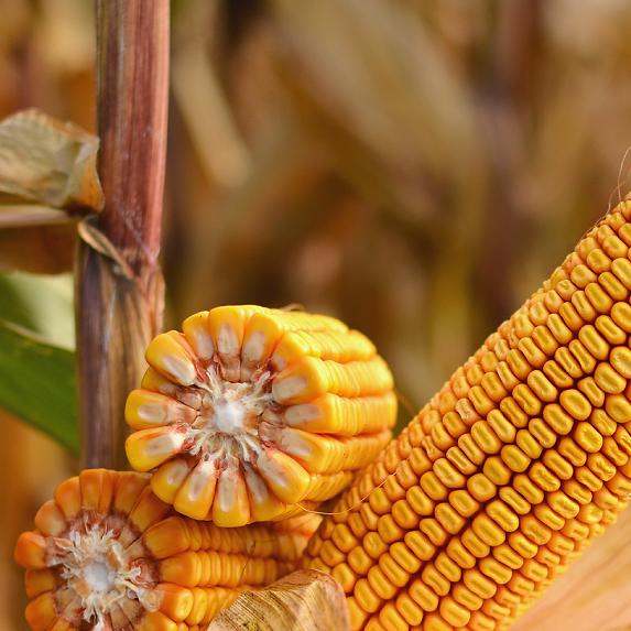 Кукуруза Феномен